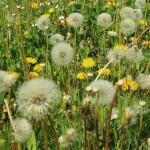Heuschnupfen wird durch umherfliegende Pollen verursacht