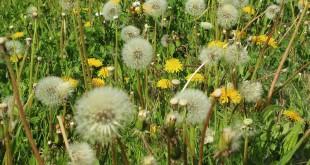 Heuschnupfen - Pollenallergie Symptome und Diagnose